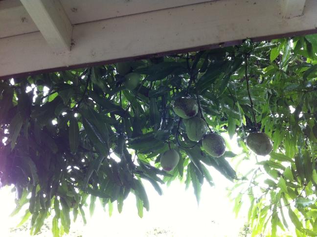 mango tree tonga