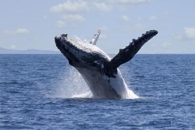 whales queensland
