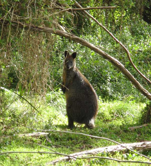 Wallaby, Phillip Island