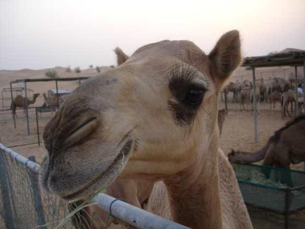 Camel Dubai
