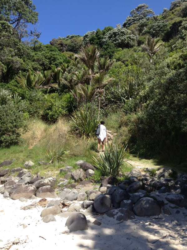 Nikau Palms at start of walk back to Whangapoua from New Chums Beach